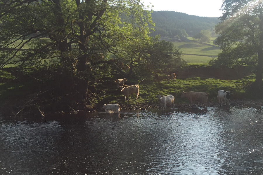 Camping Bolton Abbey Cows