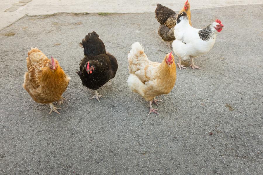 Masons Campsite Bolton Abbey Chickens